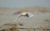 Snowy Owl Taking Off (Eddie_NewYorkNature) Tags: snowy owl snowyowl birdofprey beautifulbird birdinflight takingoffatsunset birdhunting birdtakingoff sand dune sanddune birdofnewyork newyorkbird newyorkbirdofprey