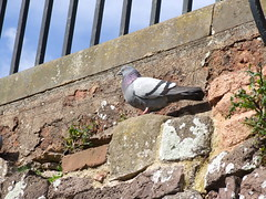 Pigeon on City Wall, Exeter (Philip_Goddard) Tags: nature naturalhistory animals vertebrates birds columbidae doves pigeons columba columbalivida commonpigeon domesticpigeon feralpigeon europe unitedkingdom britain british britishisles greatbritain uk england southwestengland devon exeter citywall