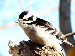 A female downy woodpecker (mrsparr) Tags: humberbayparkeast toronto ontario canada woodpecker downywoodpecker bird 7dwf closeup birdportrait portrait dof outdoors outdoorphotography nature outside