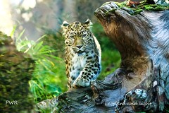 leopard and light (Paul Wrights Reserved) Tags: leopard mammal bigcat whiskers rayoflight fromabove light cat beautiful beauty bokeh ears spots menacing cool sunlight sunshine eyes eye wildlife wildlifephotography nature naturephotography