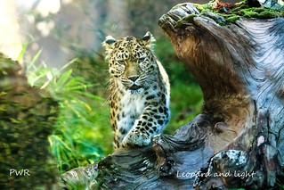 leopard and light