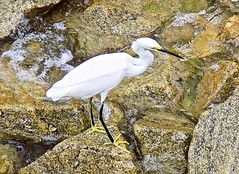Egret on the Hunt (BlueisCoool) Tags: flickr foto photo image capture picture photography nikon coolpic l330 egret bird white water waterway ocean sea outdoors nature florida clearwaterbeachflorida