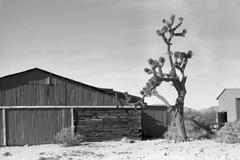 Walking Box Ranch MF (magnetic_red) Tags: ranch barn house building decay abandoned tree joshua blackandwhite desert walkingboxranch graflex crowngraphic ultrafineextreme100 rodinal