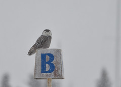 DSC_9247_edit (Hanzy2012) Tags: nikon d500 afsnikkor500mmf4difedii lesliestreetspit tommythompsonpark canada toronto ontario snowyowl buboscandiacus wildlife bird owl