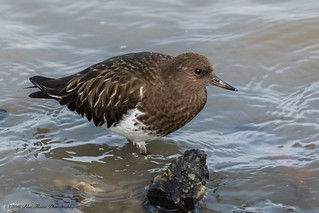 Black Turnstone ©