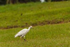 UN AIRONE    ----    HERON (cune1) Tags: animali animals uccelli birds erba grass foresta forest africa costadavorio leslagunes