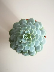 Echeveria Lola (♠Einwegherz♠) Tags: succulent succulents echeveria echeverialola mint plant