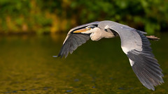 Flying Heron (Akulatraxas) Tags: berlin fish greyheron heron