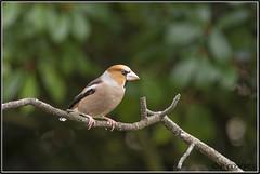_DSC0049_Grosbec casse-noyaux (patounet53) Tags: coccothraustescoccothraustes fringillidés grosbeccassenoyaux hawfinch passériformes bird oiseau
