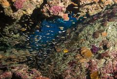Baby cardinals (Marine Explorer) Tags: scuba nature marine underwater australia marineexplorer