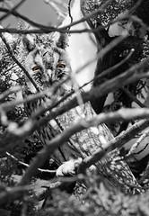 GGK33726.2 (jakobgfreiner) Tags: eule owl