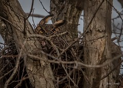 Great horned owl on the nest (flintframer) Tags: great horned owl raptors birds indiana usa america nature wildlife nesting female wow dattilo canon eos 7d markii ef600mm 14x
