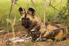 African Painted Dog (Ausguy81) Tags: african painted dog ears canberra zoo