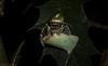 Opisthoncus quadratarius (dustaway) Tags: arthropoda arachnida araneae araneomorphae salticidae opisthoncusquadratarius jumpingspider spiderwithprey australianspiders rainforest rotarypark rprr lismore nature northernrivers nsw australia