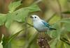 IMG_7773  Blue-gray Tanager (ashahmtl) Tags: bluegraytanager songbird tanager thraupisepiscopus santadeo pichinchaprovince ecuador