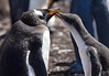 Gentoo Penquin with chick (brianjobson) Tags: penquin gentoo chick young antarctic