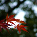 Leaves in Bokeh after the Rain thumbnail