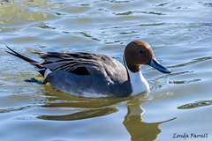 Northern Pintail - male (londa.farrell) Tags: 2018 canada canon canondslr canoneos7dmarkii dslr dartmouth february northernpintail novascotia pintail bird daytime duck nature outdoor pond water waterfowl winter