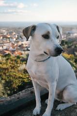 Ice the Dog in Castelo Branco (Gail at Large | Image Legacy) Tags: 2017 castelobranco icethedog portugal gailatlargecom