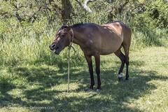 20180108-152252 (carlosgera) Tags: horse caballo colonia coloniadelsacramento uruguay