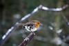 Young Robin (steve_whitmarsh) Tags: aberdeenshire scotland scottishhighlands highlands winter snow ice animal nature wildlife birds robin