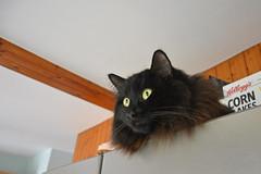 - Don't bother, I'm watching the bird! (Caulker) Tags: cat vaska fridge kitchen