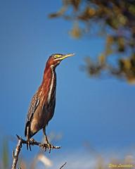 Green Heron (Stan in FL) Tags: unitedstates florida titusville blackpointwildlifedrive butorides virescens green heron birds birding nikon d500