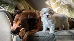 Scooby & Monty (C.A.Photogenics) Tags: walk warm exposure eye relax uk sun sunshine light vibarance life view old oxfordshire oxford sony a7rii a7r artistic art angle amateur amazing animal dog mansbestfriend home lens mix cavapoo bullwieler