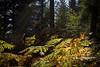 sous-bois (Steph Blin) Tags: fougères ferns sousbois wood bois forêt forest trees arbres nature vert green jaune yellow orange sapins firs auvergne forez france plantes plants végétation flore 63
