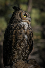Great Horned Owl (Jon David Nelson) Tags: greathornedowl bubovirginianus bubo wildlife raptors birdsofprey education conservation sagebrushsteppe sagebrushsea sagebrushecosystems eastcascades highdesert nature naturalhistory