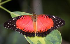 Cethosia biblis (Marcus Hellwig) Tags: cethosiabilbis schmetterling farfalla mariposa papillon rot red falter natur nature naturaufnahme naturfoto nahaufnahme natura naturalleza naturo