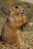 Prairiedog @ Artis 27-03-2017 (Maxime de Boer) Tags: prairiedog prairiehondje natura artis magistra zoo amsterdam animals dieren dierentuin gods creation schepping creator schepper genesis