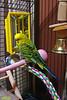 2018-01-11_22-15-28_00008 (Railfan-Eric) Tags: budgie parakeet budgerigar birds