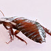 Cockroach%3B+Drymaplaneta+semivitta