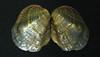 Epioblasma torulosa torulosa (tubercled blossom) 1 (James St. John) Tags: epioblasma torulosa tubercled blossom shell shells bivalve bivalves clam clams mussel mussels extinct species freshwater