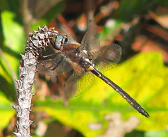 one I've never posted:  Selys' Sundragon (Helocordulia selysii) (Vicki's Nature) Tags: selyssundragon male dragonfly rare blueeyes vickisnature silverbluffsauduboncenter sc canon s5 april 0351 spring