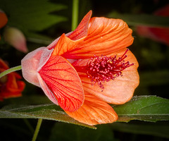 Flowering Maple (tresed47) Tags: 2018 201801jan 20180116longwoodflowers canon7d chestercounty content floweringmaple flowers folder january longwoodgardens macro pennsylvania peterscamera petersphotos places ringflash season takenby technical us winter ngc npc