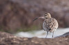 """Whimbrel (Wouter's Wildlife Photography) Tags: wader bird nature naturephotography wildlife wildlifephotography shorebird whimbrel """"numenius phaeopus"""""""