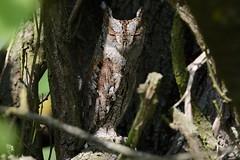 Assiolo-Scops owl. (Riccardo Bocconi.) Tags: