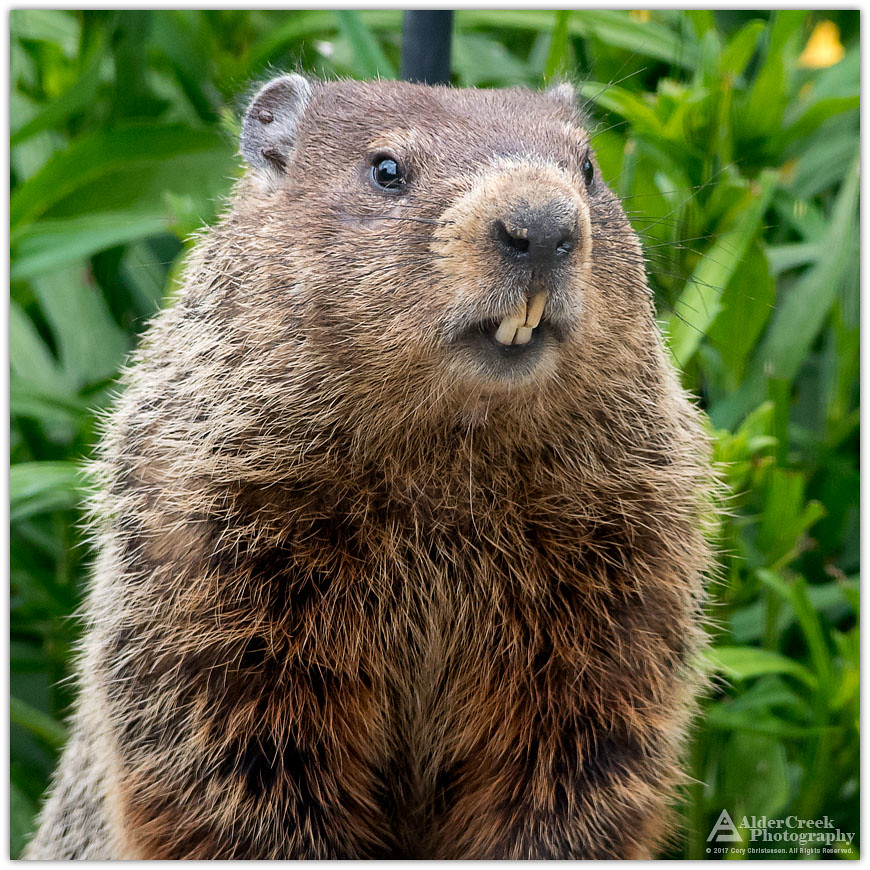 The World's most recently posted photos of marmot - Flickr ...  The World's...
