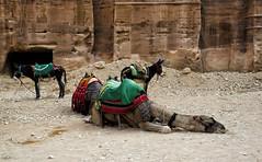 Jordan:  Dog-Tired Camel (doug-craig) Tags: asia jordan petra camels travel stock nikon d7000 nationalgeographic journalism photojournalism dougcraigphotography desert flickrtravelaward coth greatphotographers