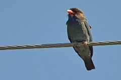 Eastern Dollarbird_3415 (Eurystomus orientalis) (Neil H Mansfield) Tags: eurystomusorientalis dollarbird dollar roller nature australian laurieton