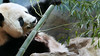 Tian Tian inspecting the boo, which failed to meet his approval and was discarded. 2017-05-10 at 11.09 AM (MyFoto:)) Tags: pandas endangered vulnerable tiantian mammals giantpanda ailuropoda melanoleuca smithsonian nationalzoo nature conservationdependent wildlife zoologicalgardens washington dc smelling bamboo