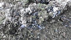 Unidentified clams (Family Mytilidae) at Kranji (wildsingapore) Tags: mollusca bivalvia mytilidae kranji island singapore marine intertidal shore seashore marinelife nature wildlife underwater wildsingapore