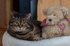 Intruder !!!! (FocusPocus Photography) Tags: cleo katze cat chat gato tier animal haustier pet bett bed bär bear teddybear teddybär