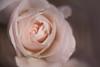 vieux rose (christophe.laigle) Tags: rose christophelaigle drops macro pink nature flower fuji gouttes fleur raindrops xpro2 xf60mm pluie abigfave