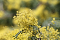 Mimosa (Carla@) Tags: mimosa acaciadealbata nature liguria italia europa mfcc canon explorenaturethewildnature fantasticnature thesunshinegroup coth alittlebeauty coth5 ngc npc supershot