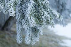 Winterwald (Mariandl48) Tags: winterwald raureif fichte wald sommersgut wenigzell steiermark austria