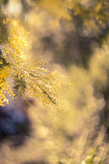 (Xavier Ligonnet (Daftlive)) Tags: helios bokeh mimosa flower winter spring love beautiful sun sunset flare grass yellow bokehmonster