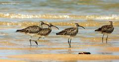 IMG_0096 Whimbrel (Numenius phaeopus) (vlupadya) Tags: greatnature animal aves fauna indianbirds whimbrel numenius kundapura karnataka
